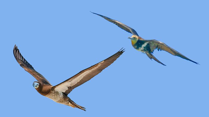Brown Booby avoiding Frigate Bird above  Lacepede Island – John Wattie