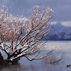 Not the Wanaka Tree - Marg Balogh