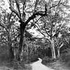 Karri Forest – Marg Balogh