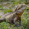 Eastern Water Dragon .