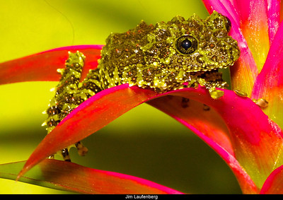 Vietnamese Mossy Frog  Theloderma corticale