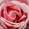 Shades of a Pink Rose