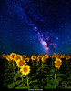Sunflowers and Milky Way