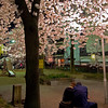 A couple enjoys a quiet moment to enjoy the fully bloomed cherry blossoms in a small playground off of Kiyamachi.