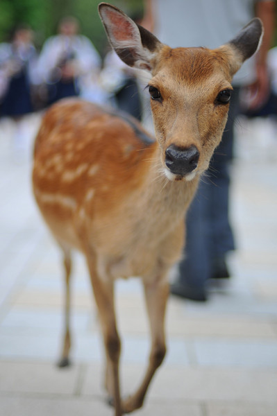 Quick snap of one of the deer at Nara Park.