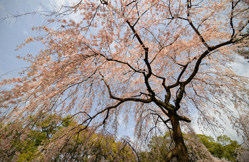 Sakura at Kyoto's Imperial Palace.