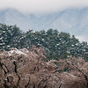 Snow melting among the cherry blossoms at a park in Nagano