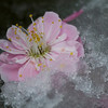 Cherry blossom surprised by a late snowfall in Spring. <br /> <br /> Obuse, Nagano.