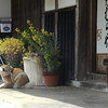 So many shiba along the way from Tsumago to Magome.