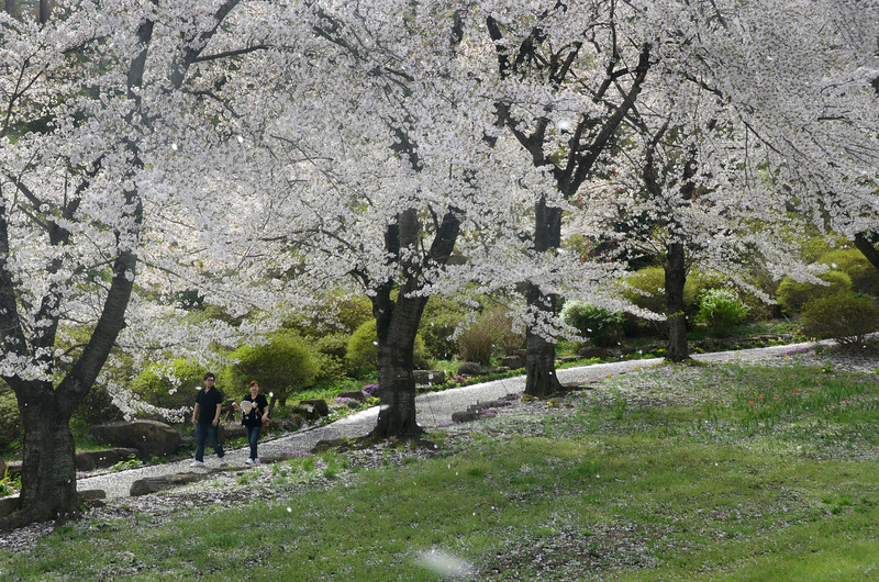 Some park in western fukushima. The amount of fallen cherry blossom petals was incredible, literally blanketing most of the area.