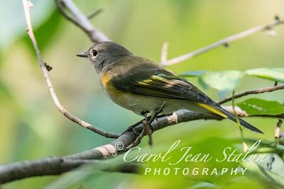 American Redstart Female