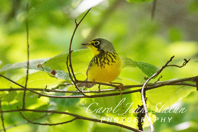 Canad Warbler