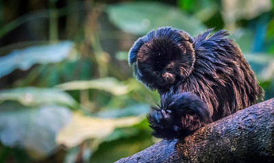 Goeldi's marmoset - Monkey Do tail inspection