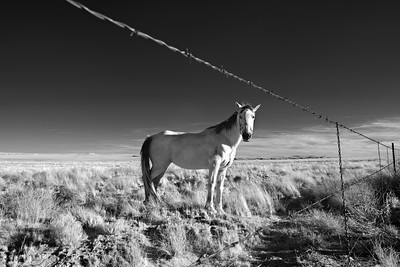 Hopi horse