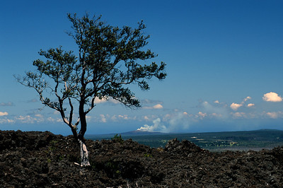 This tree lives in a lava field. In the background, steam can be seen from lava flowing into the sea.