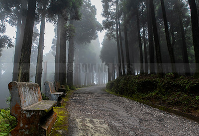 D19:The conifers lining the bending road,and the dense mist, beckon the traveller to explore,in Jorpokhri,West Bengal