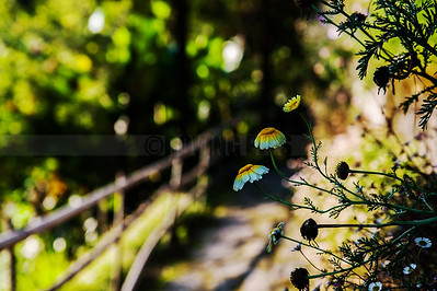 D8:A walkway framed by flowers and light,in Pelling,West Sikkim