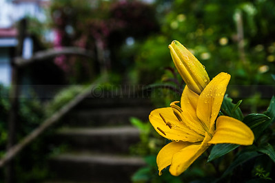 D9:Fresh morning dewdrops  entice the traveller to explore further up the  flower adorned staircase,in Pelling,West Sikkim