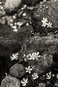 D5:Fallen flowers adorn the riverside rocks in Rocky Island,Samsing,West Bengal