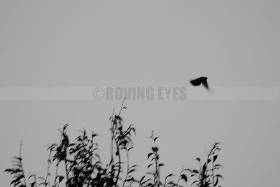 D40:The little bird flies away from its swaying perch,in Borong,South Sikkim