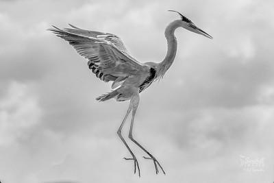 Great blue heron airborne, in monochrome