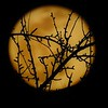 The Wolf Moon - Looking through the trees - Creepy...