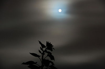 night-moon-glow-flower