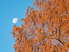 Setting Moon and Dawn Redwood in Late Autumn