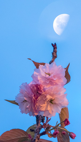 Spring Tree Blossom and Setting Moon, Oakland CA
