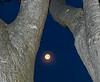 Setting Full Moon Nestled Between Large Tree Trunks