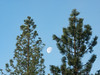 Setting Moon Between Two Pine Trees
