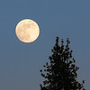 Rising Full Moon and Pine Tree