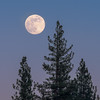 Rising Full Moon and Pine Trees