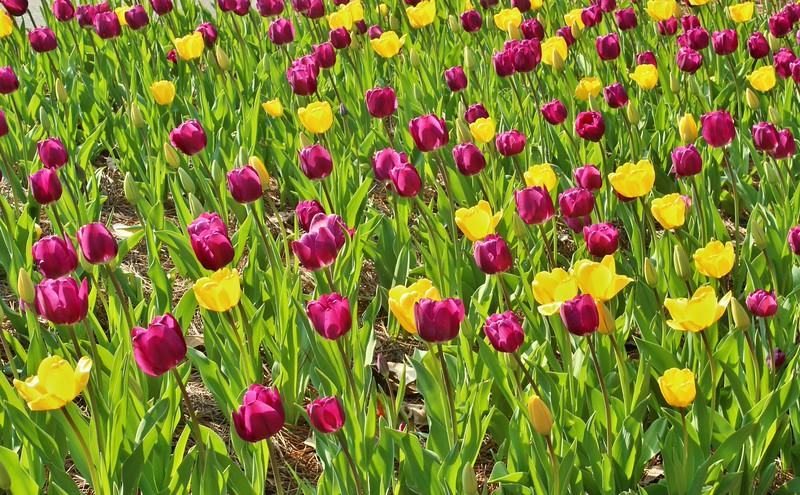 Cathy Locklear - Tulips in Springtime