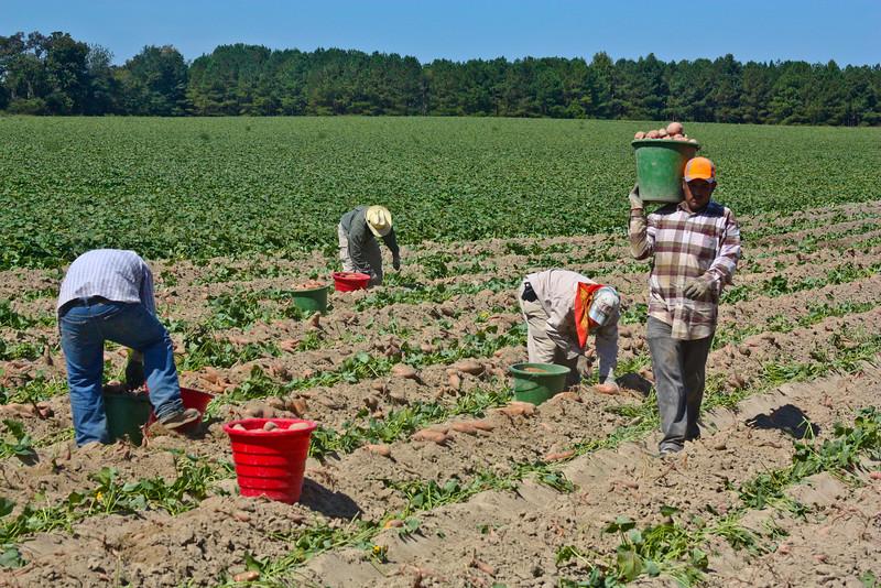 John German-Sweet Potato Harvest on NC 690