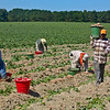 John German-Sweet Potato Harvest on NC 690