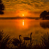 Mute Swans at Dawn