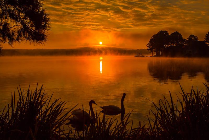 Mute Swans at Dawn
