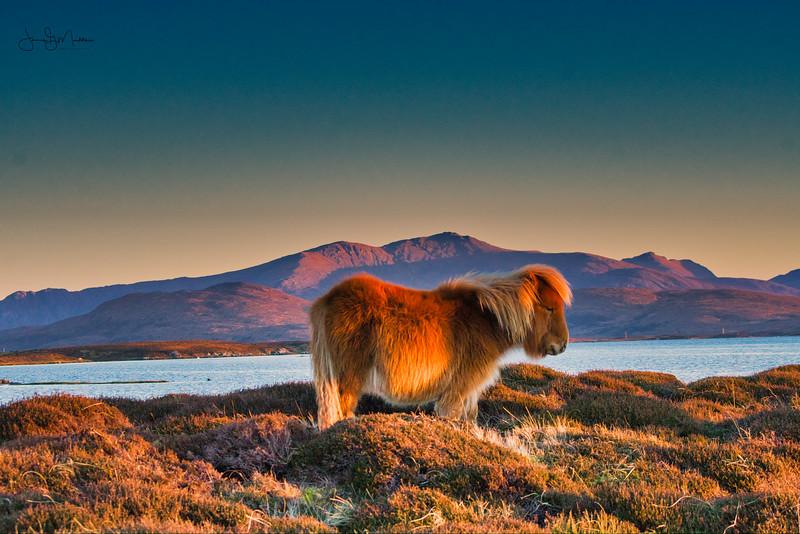 Shetland Pony in the glow