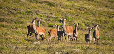 Red  deer hinds and calfs