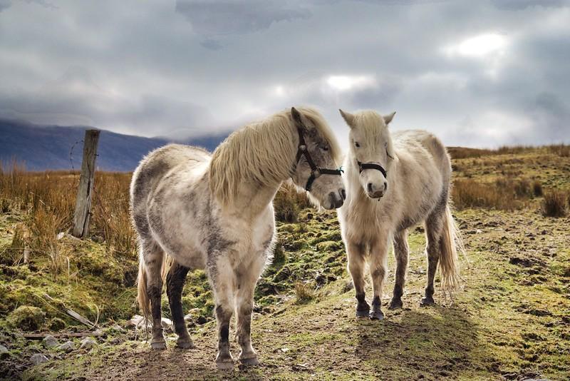 Eriskay Ponies.jpeg