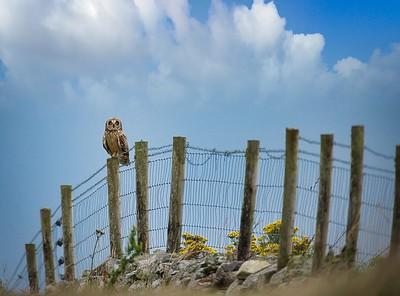 Short eared owl watching