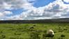 Ovečky patria Sleddale farme