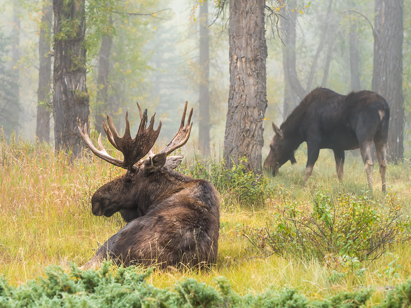 Bull Moose with Cow in the Morning Mist