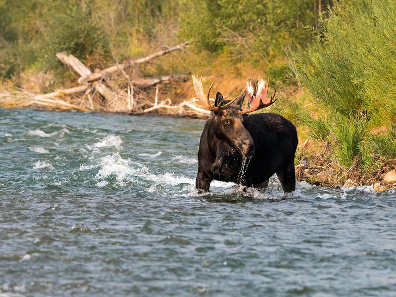 Bull Moose in Gros Ventre River
