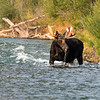 Bull Moose in Gros Ventre River