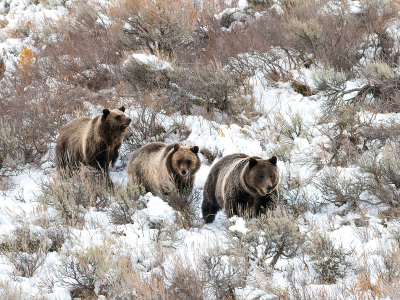 Grizzly Bears - Sow 399 With Her Two Cubs
