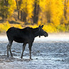 Cow Moose in the Gros Ventre River