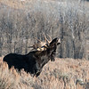 Bull Moose in Grand Teton National Park