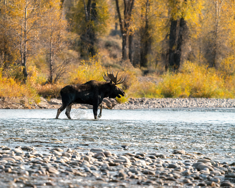 Bull Moose Crossing the Gros Ventre River in Wyoming